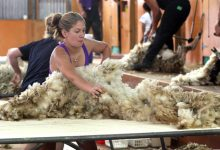 Emma Braddick, competes in the open woolhandling heats. PHOTO/FILE