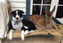 Fern the fawn and Dotty the sheepdog are best of friends