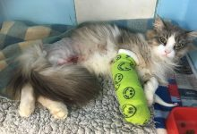 Missy, a 3-year-old Maine Coon had to drag itself home with two broken legs after being shot. PHOTO/SUPPLIED