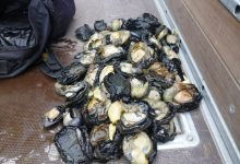 The illegal paua haul. PHOTO/SUPPLIED BY MPI