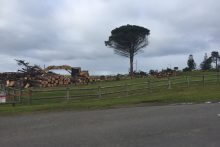 110-year-old beachfront trees felled