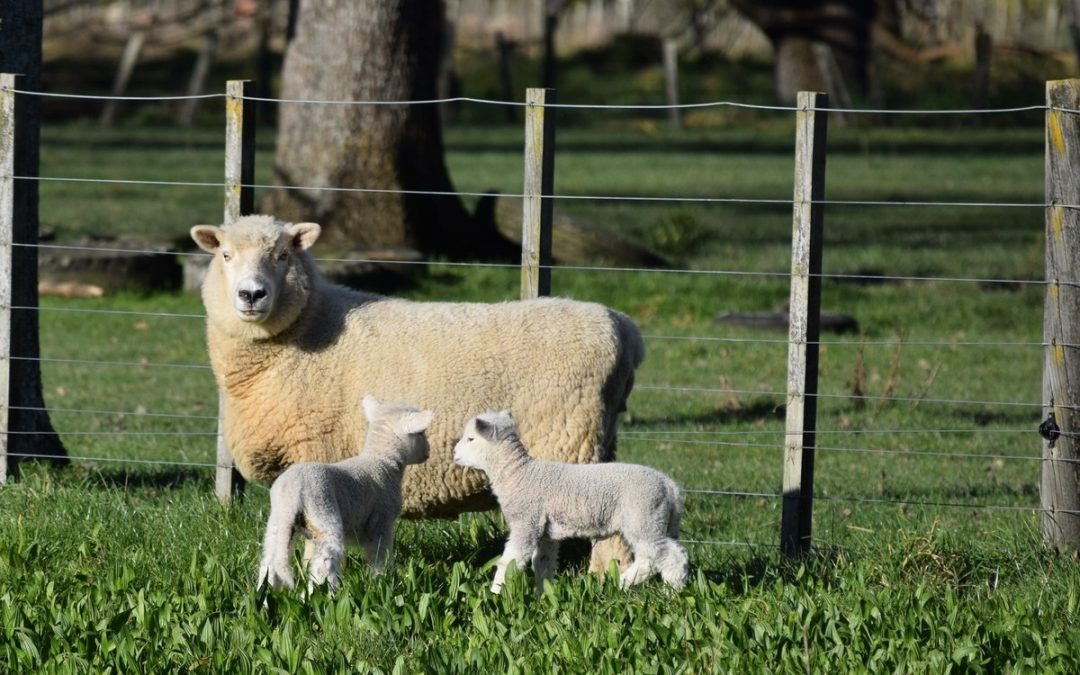 Lambing season looms
