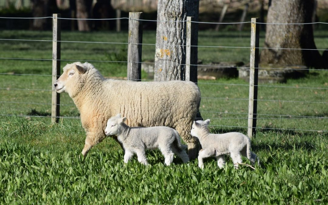 Strong lamb prices pleasing
