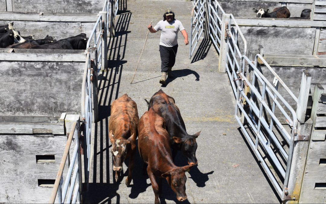 Top prices for beef cattle