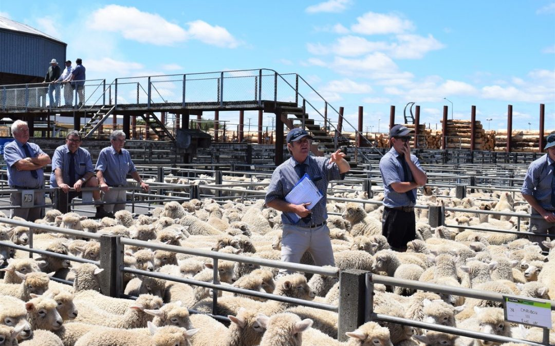 Lamb buyers cautious as dry weather builds up