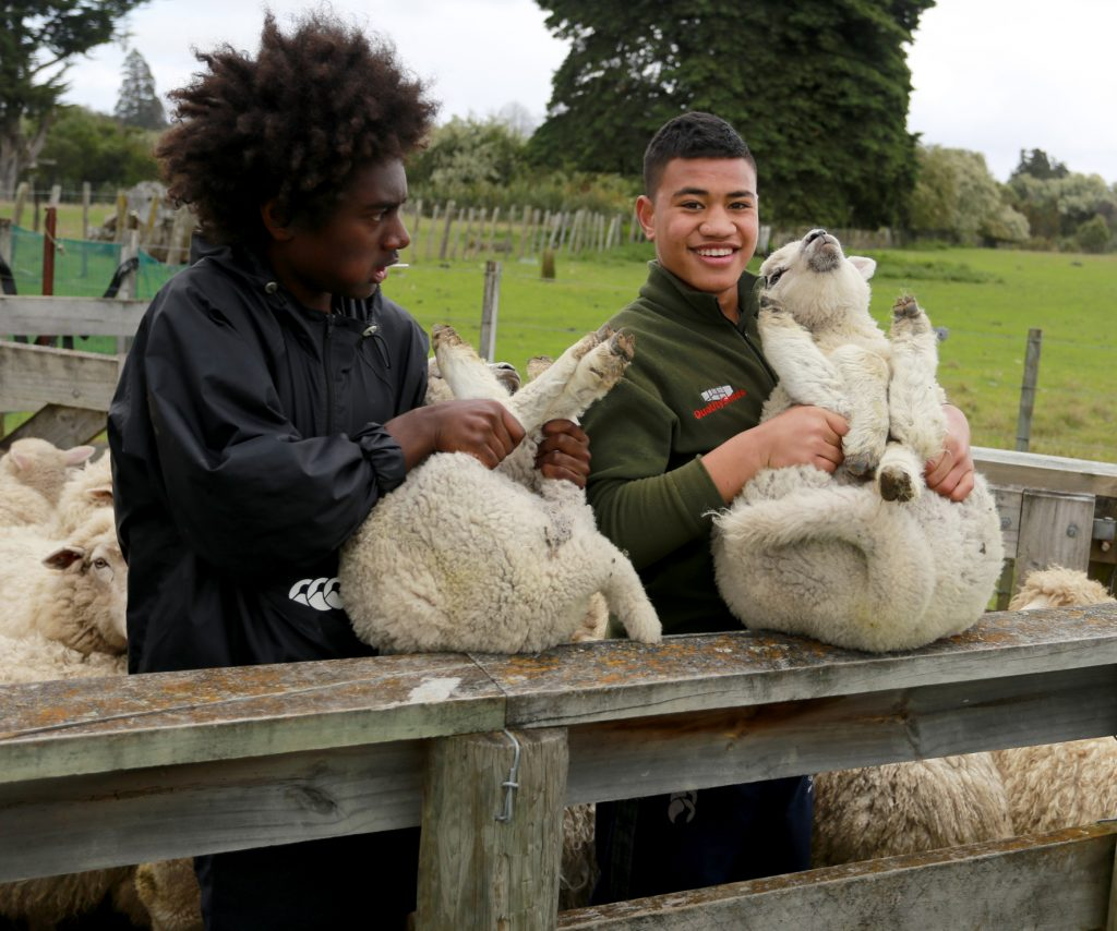 Kyle Rurai (left) and Eric Ulutui, both Year 10, with lambs before docking. PHOTO/SUZANNE OLIVER