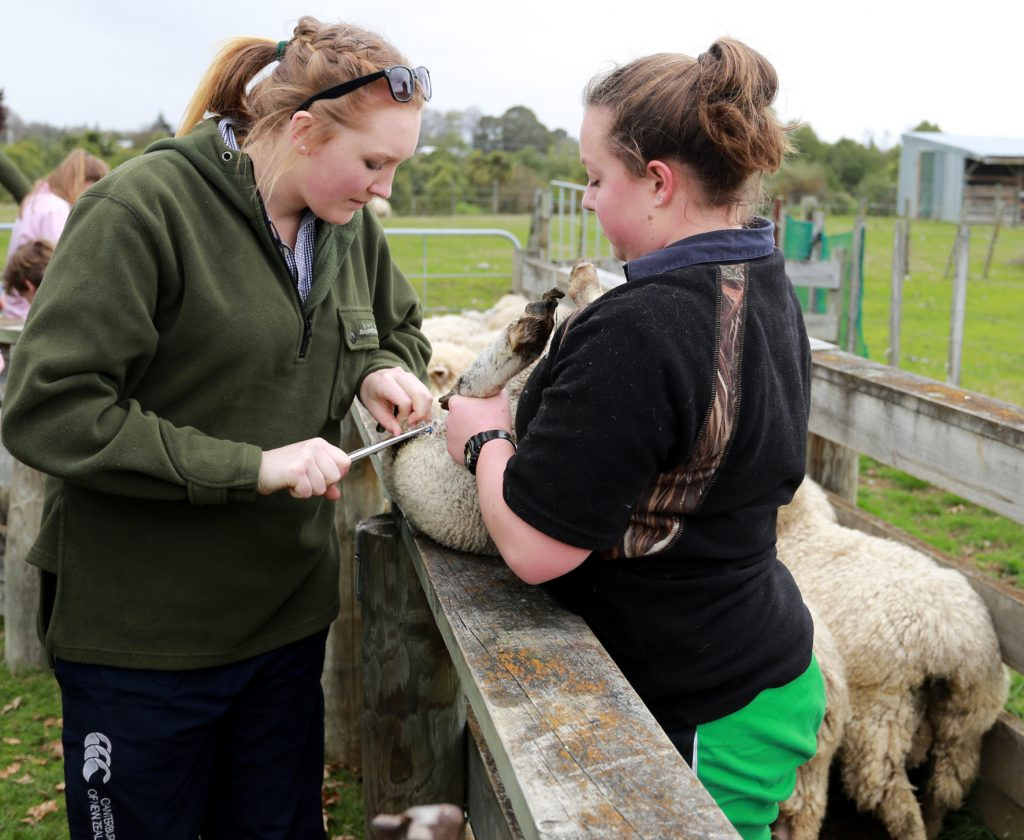 Year 13 agriculture students Madi Daines (left) and Kelsey Anstis show the junior students how it is done. PHOTO/SUZANNE OLIVER