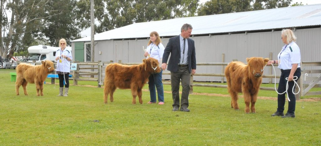 Judge Dave Blackwood casts a critical eye over some of the entries in the yearling heifer class. PHOTO/CHRIS KILFORD