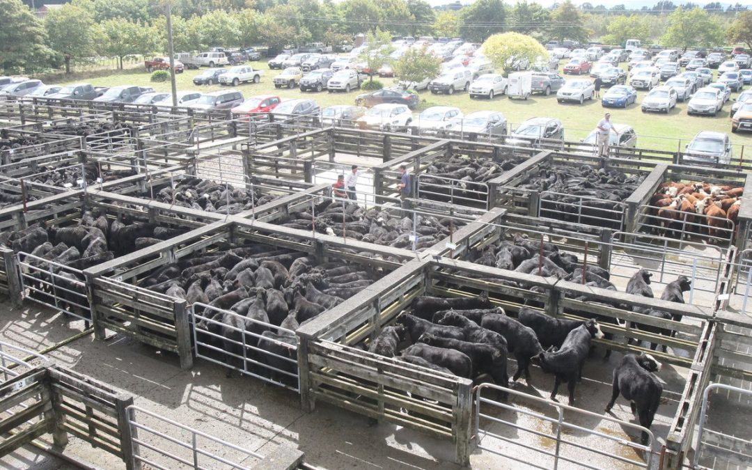 Buyers bid for quality cattle