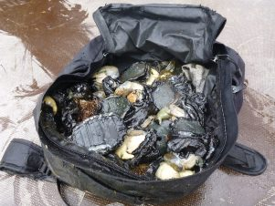 A bag containing paua taken illegally from White Rock. PHOTO/SUPPLIED BY MPI
