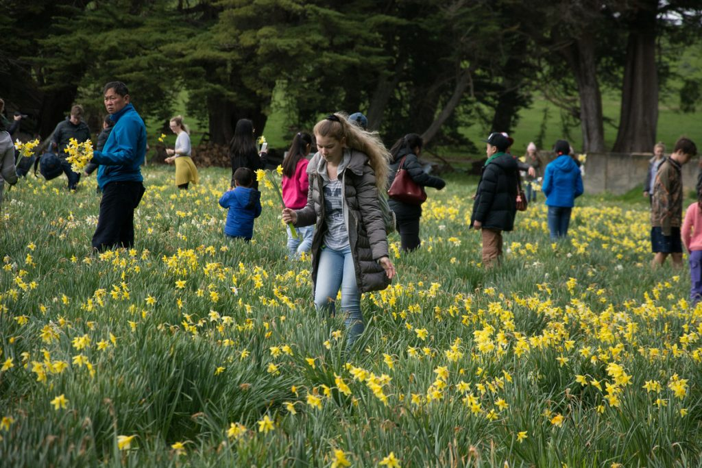 Middlerun daffodil picking. PHOTO/JADE CVETKOV