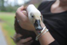 Mama Duck. PHOTO/EMILY NORMAN