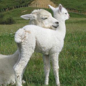 Alpacas sharing a cuddle. PHOTO/SUPPLIED