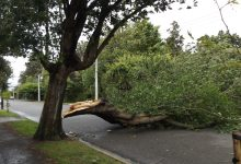 The tree that fell on Saturday morning on Essex St. PHOTO/ALISON