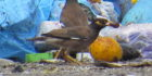 Major focus on myna birds