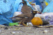 Major focus on myna birds