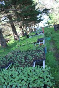 Seedlings 'hardening off' in the outdoor nursery.