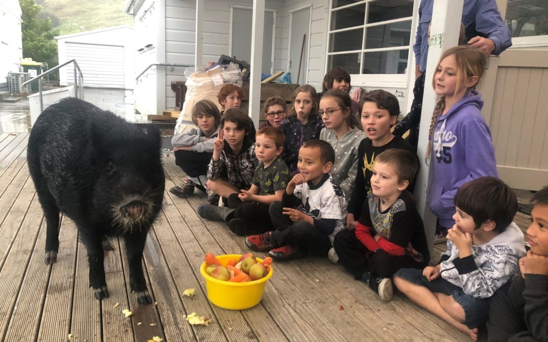 'Waffles' the school pig off to vegan home