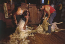 Woolshed safety targeted