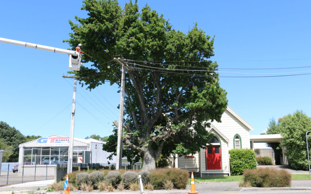 Plan to cut down old oak tree creates angst