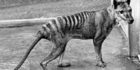 Extinct tiger's skin found