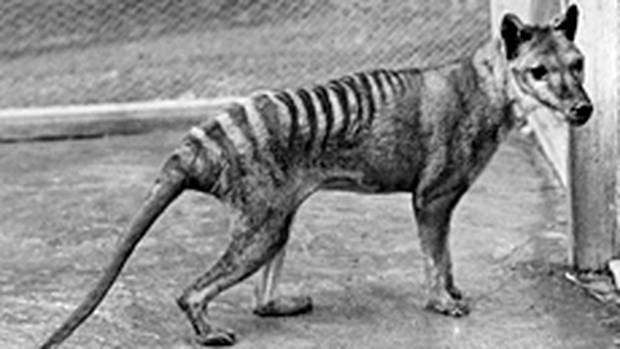 Extinct tiger's skin found