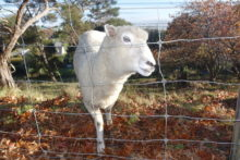 Pongaroa roots for NZ's oldest sheep