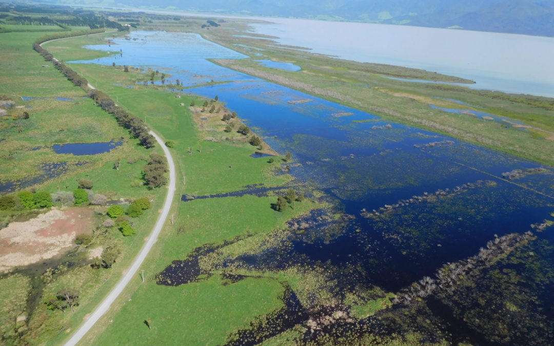 Wairio wetlands restorations starts to pay dividens in water fowl
