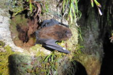 Predator control good news for bat